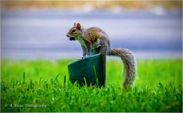 Eastern Gray Squirrel _93E6429-4