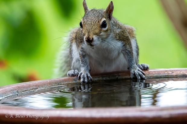 Eastern Gray Squirrel feeling thirsty_93E6464-2