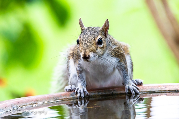 Eastern Gray Squirrel feeling thirsty_93E6464-3