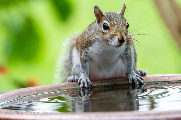 Eastern Gray Squirrel feeling thirsty_93E6464-4
