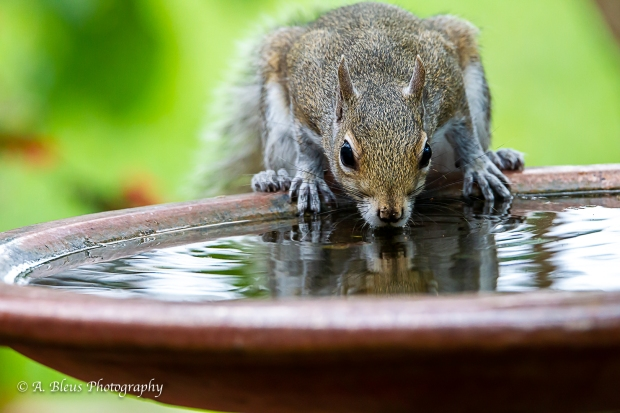 Eastern Gray Squirrel feeling thirsty_93E6464