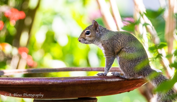 Eastern Gray Squirrel on Bird Bath_93E6575-4