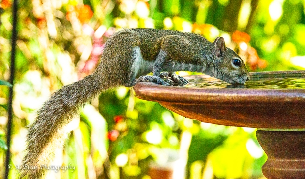 Eastern Gray Squirrel on Bird Bath_93E6575
