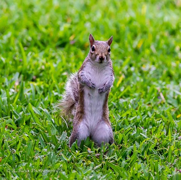 Eastern Gray Squirrel_93E6456-2
