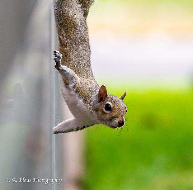 Eastern Gray Squirrel_93E6456