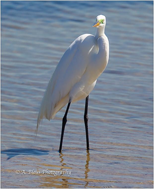 Egret stare, Fort De Soto_93E6847