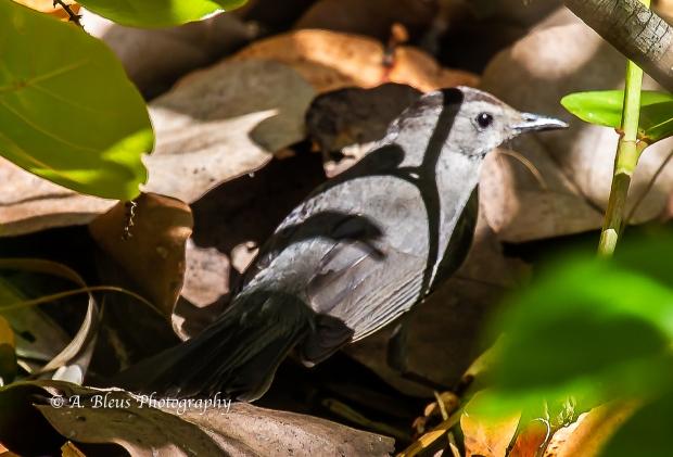 Gray Catbird, Fort De Soto Park_93E6938