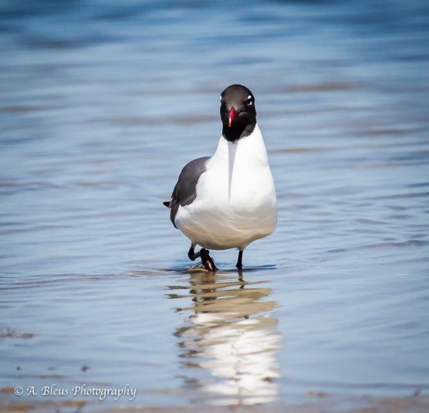 Laughing Gull, Fort De Soto Park_93E6675-1