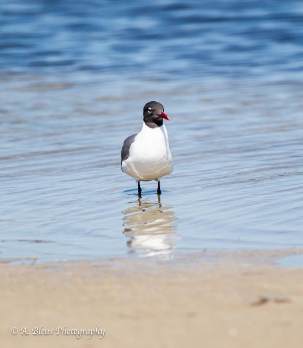 Laughing Gull, Fort De Soto Park_93E6675-2