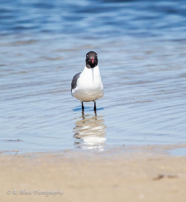 Laughing Gull, Fort De Soto Park_93E6675-3