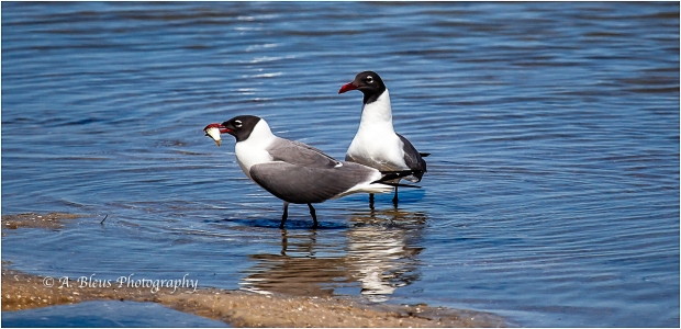 Laughing Gull with a Fish, Fort De Soto_93E6802-3