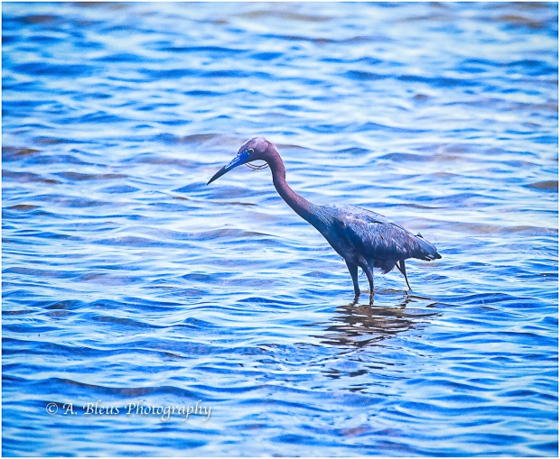 Little Blue Heron, Fort De Soto_93E6830