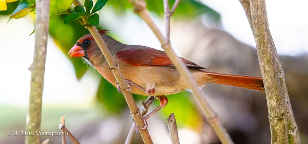 Northern Cardinal Female_93E6541-4