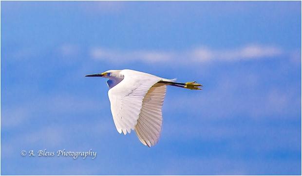 Snowy Egret IF, Fort De Soto Park_93E6988