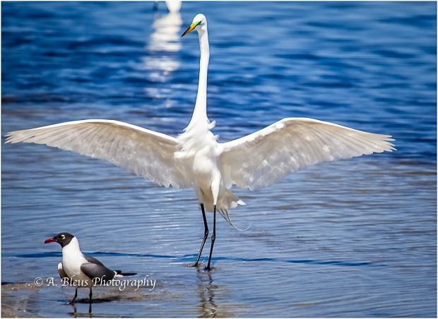 Snowy Egret & Laughing Gull, Fort De Soto_93E6806