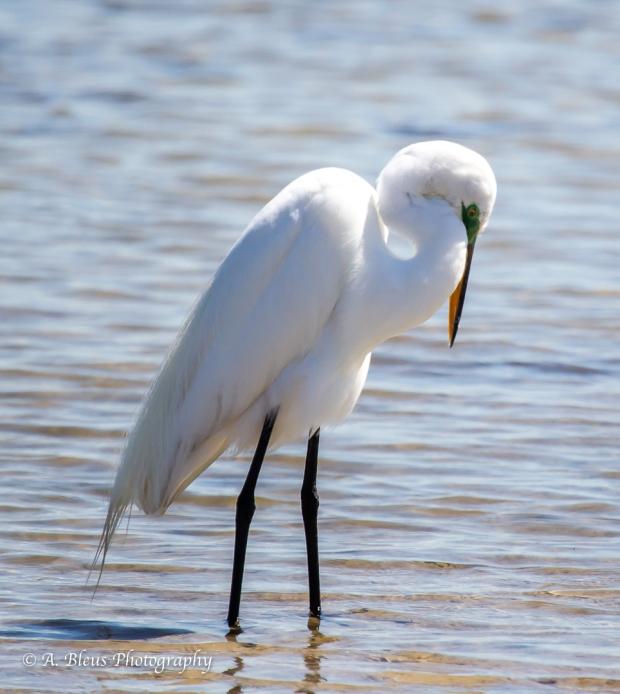 Snowy Egret preening, Fort De Soto Park_93E6837-1