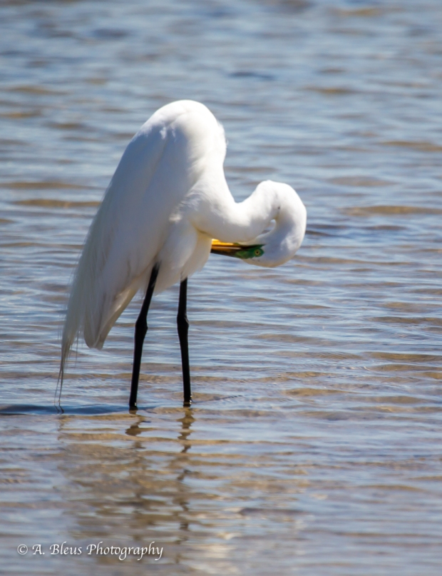 Snowy Egret preening, Fort De Soto Park_93E6837-2