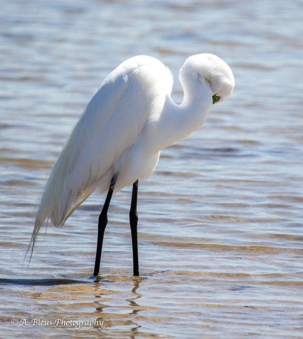Snowy Egret preening, Fort De Soto Park_93E6837-3
