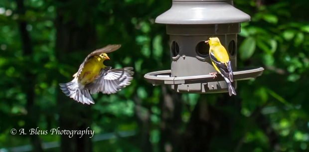 A Pair of Goldfinch_93E9140