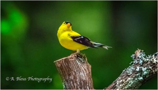 American Goldfinch, IMG_6527