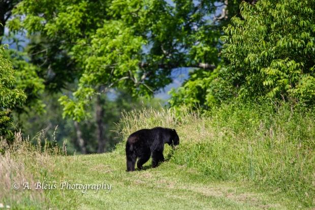 Black Bear and Cub_93E0141-2