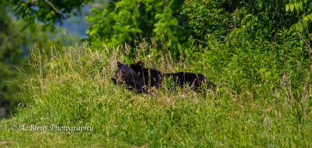 Black Bear and Cub_93E0141-3
