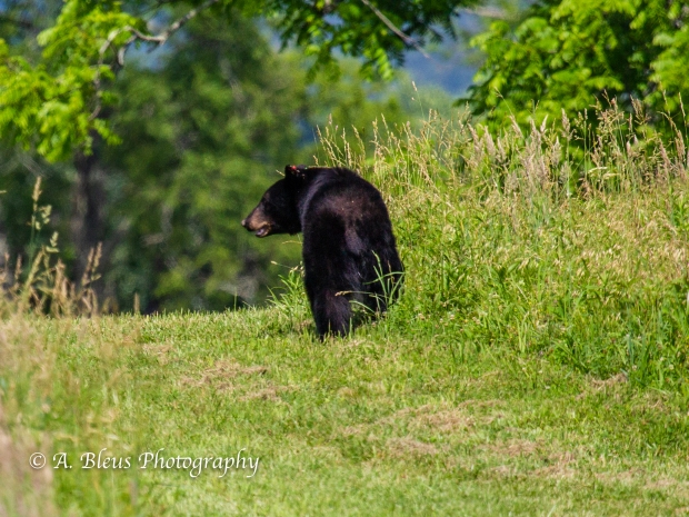 Black Bear and Cub_93E0141-4