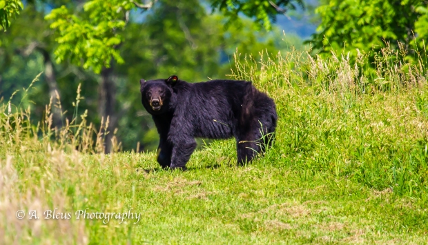 Black Bear and Cub_93E0141-6