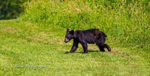 Black Bear and Cub_93E0141-7