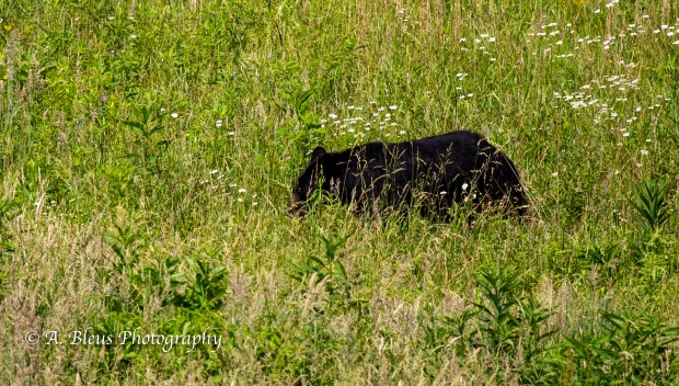 Black Bear No 2_93E0187-2