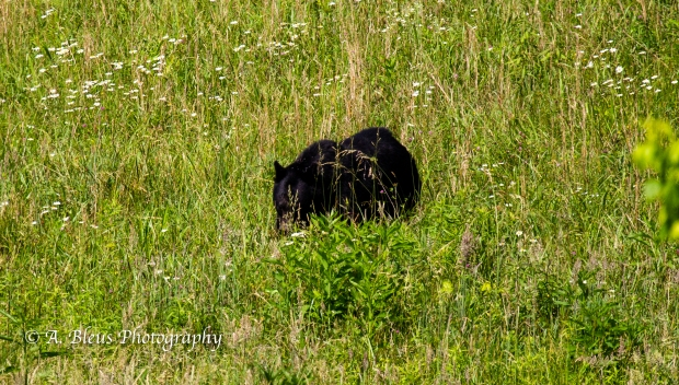 Black Bear No 2_93E0187