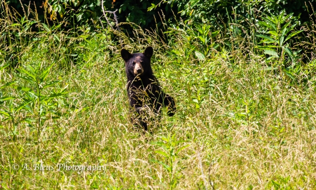 Black Bear No 3_93E0196