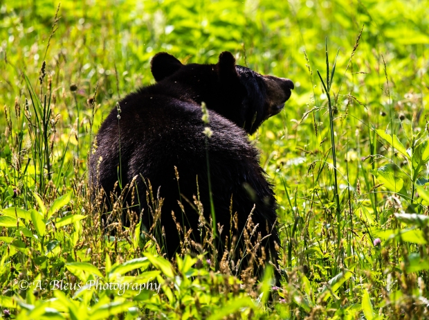 Black Bear No 4_93E0231-2