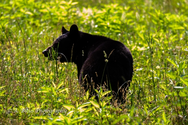 Black Bear No 4_93E0231-4