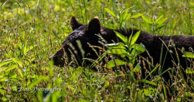 Black Bear No 4_93E0231