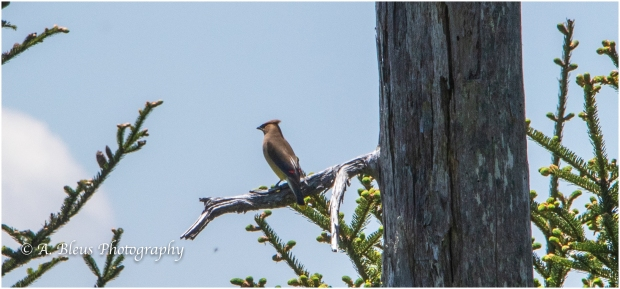 Cedar Waxing Bird at Clingmans Dome , IMG_6809