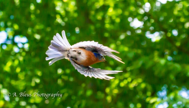 Western Bluebird in Flight_93E9711