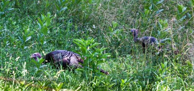 Wild Turkey_93E0134-3