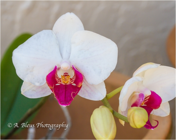 Blooming Phalaenopsis, MG_9548-2