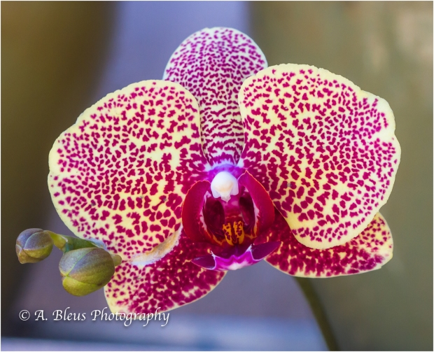 Blooming Phalaenopsis, MG_9548-4