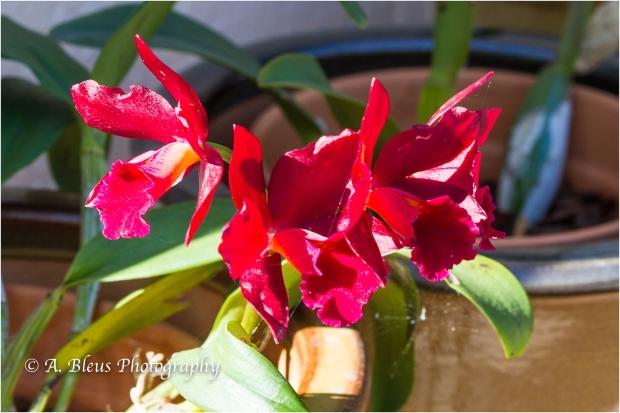 Blooming Phalaenopsis, MG_9548