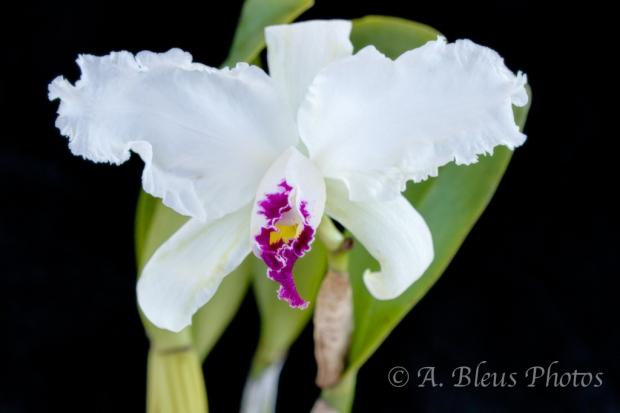 Brassolaeliocattleya Cattleya Orchid