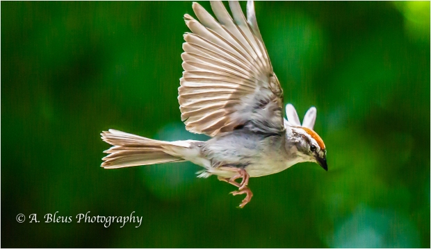 Chipping Sparrow in Flight_93E9670
