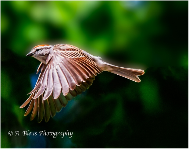 Chipping Sparrow in Flight_93E9705