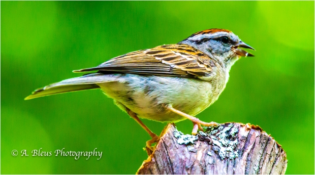 Chipping Sparrow_93E9306-2