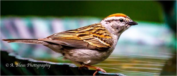 Chipping Sparrow_93E9306