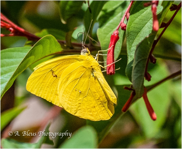Cloudless Sulphur Butterfly_B4160083