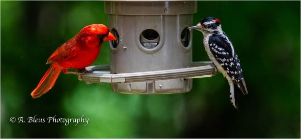 Downy & Cardinal_93E8979