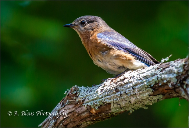 Eastern Bluebird close-up, 93E0353