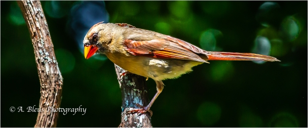 Female Northern Cardinal_93E9065-3